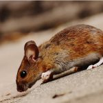 Ace Termite and Pest Solutions offers treatments for all types of pest infestations, including rodents