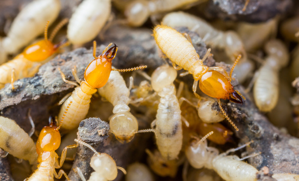 Ace Termite and Pest Solutions can solve all your termite infestation problems