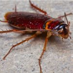 Contact Ace Termite and Pest Solutions for all your cockroach infestation treatments and services